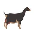 lamancha goat breeds domestic farm animals vector image vector image