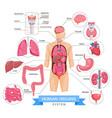 human organ system vector image