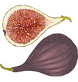 two ripe figs whole and in cross section vector image