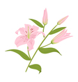 beautiful lily flower vector image vector image