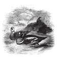 harlequin duck vintage vector image vector image