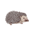 hand drawn hedgehog vector image