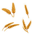 set of of wheat spikelets vector image vector image
