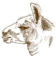 engraving of lama head vector image vector image