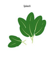 spinach green vector image vector image