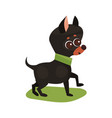 chihuahua dog purebred pet animal standing on vector image