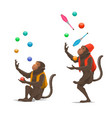 circus show trained monkeys juggling balls maces vector image