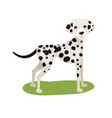 dalmatian dog purebred pet animal standing on vector image vector image