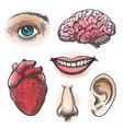 human organs sketch vector image vector image