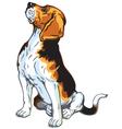 sitting beagle vector image vector image
