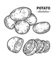 potato fresh food hand drawn vector image vector image