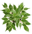 decorative ficus benjamina tree top view vector image