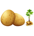 Fresh potatoes with leaves and stem vector image vector image