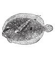 flounder vintage vector image vector image