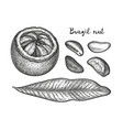 ink sketch of brazil nut vector image vector image