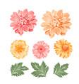 set chrysanthemum flowers elements vector image vector image