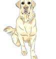 sketch dog breed white labrador retrievers vector image