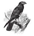 south american hawk vintage