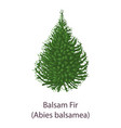 balsam fir icon flat style vector image vector image