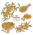 hand drawn sea buckthorn branch colored sketch vector image