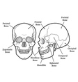 Skull Chart vector image vector image