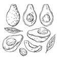 set sketch avocados various engraving elements vector image vector image