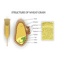 seed structure2 vector image vector image