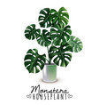 realistic house plant monstera vector image