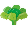 broccoli head with leaves vector image vector image