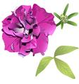 Photorealistic purple petunia vector image vector image