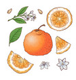 set mandarin fruits isolated elements vector image