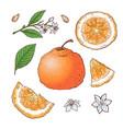 set of mandarin fruits isolated elements vector image