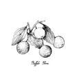 hand drawn of buffalo thorn fruits on white backgr vector image