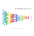 chromosomes pairs structure dna genome set vector image