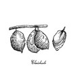 hand drawn of ripe charichuelo fruits on white bac vector image