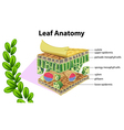 Leaf anatomy vector image vector image