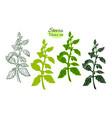 set stevia 1 vector image