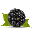 Blackberry vector image vector image
