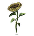 sunflower hand drawing vintage clip art isolated vector image vector image