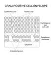 gram-positive cell envelope vector image vector image