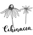hand drawn echinacea vector image