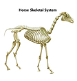 Horse Skeletal System vector image vector image
