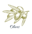 Olives branch of olive bunch sketch vector image
