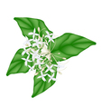 White Indian Cork Flowers on White Background vector image vector image