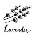 beautiful hand drawn lavender tea herb vector image