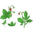 wild strawberry with berries isolated elements on vector image vector image