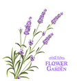 bunch of lavender vector image vector image