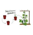 vegetables scheme growing cucumbers from vector image vector image