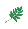 hand drawn green rowan ash tree leaf vector image