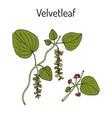 velvetleaf cissampelos pareira medicinal plant vector image vector image